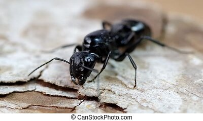 Black ant on wood - Detail of a black ant on a wooden board