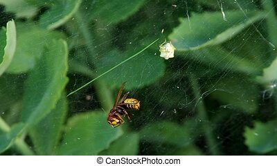 Hornet in a spider web  on green background