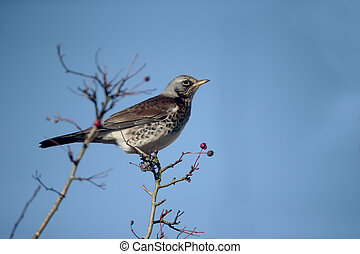 Fieldfare, Turdus pilaris, Single bird in hawthorn bush,...
