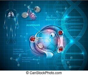 Alveoli anatomy, respiration - Respiration system organs....