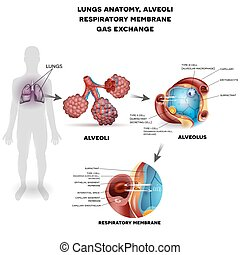Alveoli anatomy, respiration - Respiratory system, lungs and...