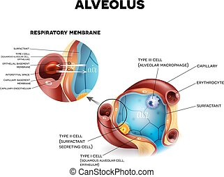 Alveoli anatomy, respiration - Alveolus anatomy and...