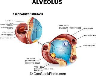 Alveoli anatomy, respiration - Alveolus anatomy and...