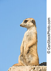 Suricata standing on a rock - Suricata standing on a rock,...