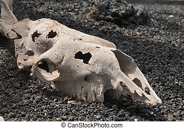 Camel Skull over a Volcanic Floor, in Canary Islands, Spain