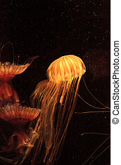 Japanese sea nettle Jellyfish, Chrysaora pacifica, can range...
