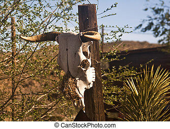 Cow Skull - View of a bleached cow skull - a favorite...