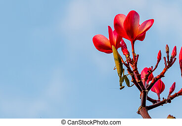 Praying mantis on a flower and blue sky background