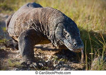 Komodo dragon - Island Rinca Indonesia