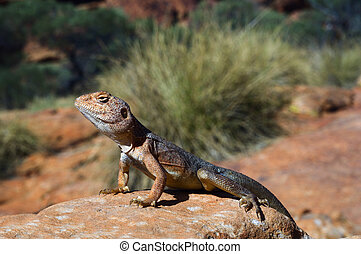 Military dragon - Ctenophorus, also known as Comb-bearing...