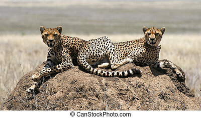 Two cheetahs - The cheetah Acinonyx jubatus is an atypical...
