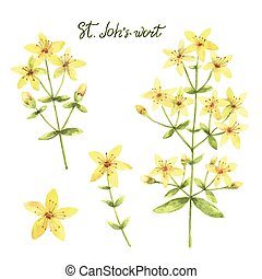 Hand drawn watercolor vector botanical illustration of St...