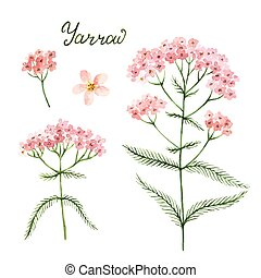 Hand drawn watercolor vector botanical illustration of...