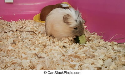 Guinea pigs eating green cucumber stock footage video...
