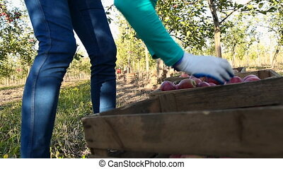 woman shifts apples - apples woman shifts from one box to...