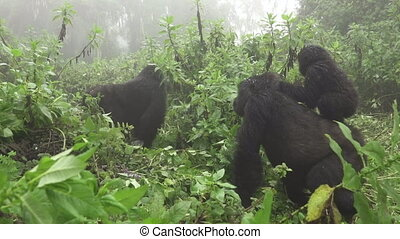 Baby mountain gorilla over mom in Rwanda - Side view of baby...