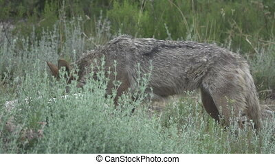 Slow motion of wolf looking at camera, side view, flat color...