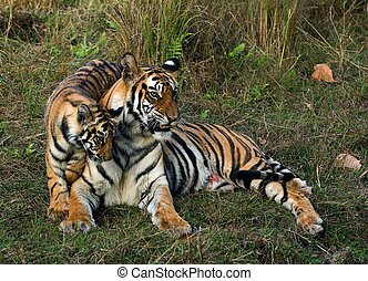 Tigress and cub. - The wounded tigress becomes angry about...