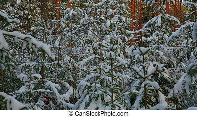 winter forest, spruce in the snow in Sunny weather.