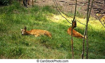 Roe Deer in the wild.