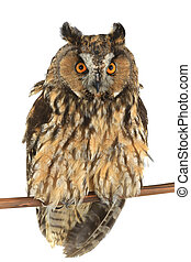 owl with on a white background