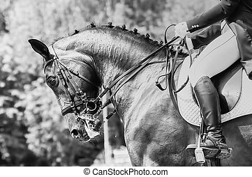 Close up of the head a bay dressage horse black-white