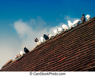 Pigeons - Breeding pigeons stand on the top of a roof.