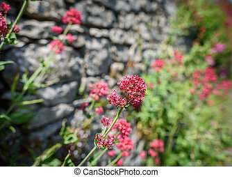 Red Valerian (Centranthus ruber) plant in flower growing...