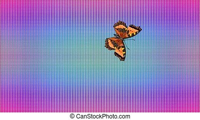 Video Butterfly Vanessa atalanta rainbow checkered...