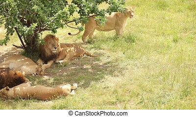 lion pride in shadows of tree in zoo