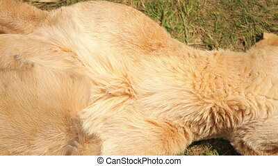 Lioness lying on his back and belly warms in the sun