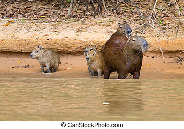Herd of Capybara from Pantanal, Brazil - Herd of Capybara on...