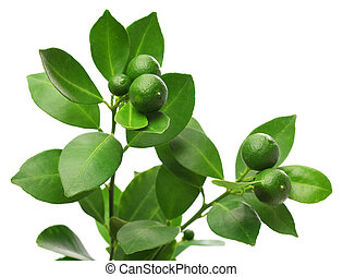 calamondin, calamansi on white background