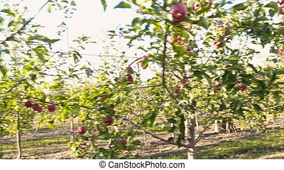 woman talking on the phone walking in the apple orchard