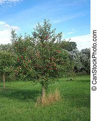 Apple tree 5
