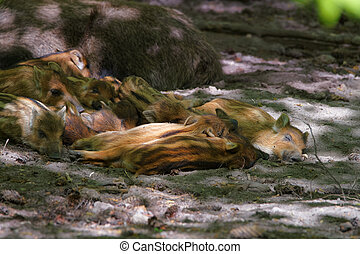 Family of Wild boars at Bialowieza National Park in Poland -...