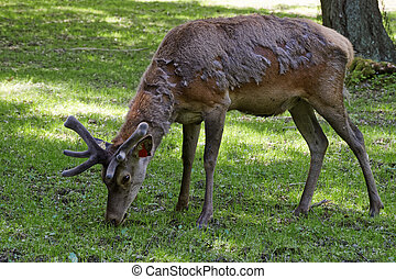 Deer in Bialowieza National Park in Poland - Deer while...