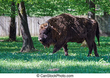 Bison at Bialowieza National Park of Poland - Bison at...