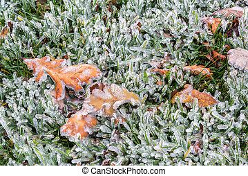 Ice Covered Grass - Ice covered grass and leaves after an...