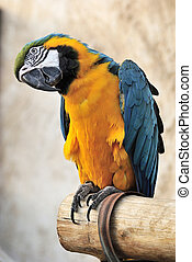 Blue and yellow macaw Ara ararauna at bird souq in Doha,...