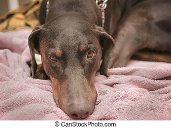 Doberman Pinscher Laying on a Dog Bed - Doberman Pinscher...