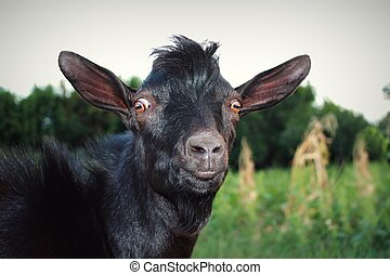 Surprised and Serious Black Goat. Funny Goggled Brown Eyes....