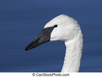 Trumpeter swan portrait with blue pond in the background -...