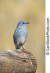 Male mountain bluebird sitting on a large log with brown...