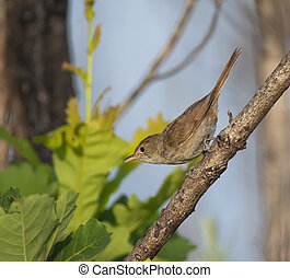 Thick-billed reed warbler on shrub limb at edge of wetland...