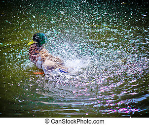 Duck Lively on Water - A colorful duck splashing water...