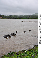 Water buffalo cooling in the muddy lake in India