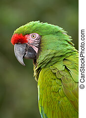 Green Macaw - Close-up bird portrait of Great Green Macaw,...