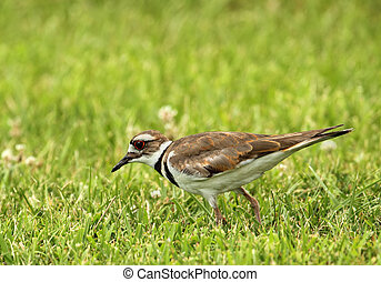 Killdeer, Charadrius vociferus, walking in the grass looking...