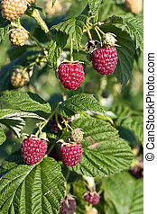 Raspberrys on bush - Some red raspberrys on bush